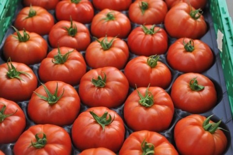 Planting Tomatoes for Business